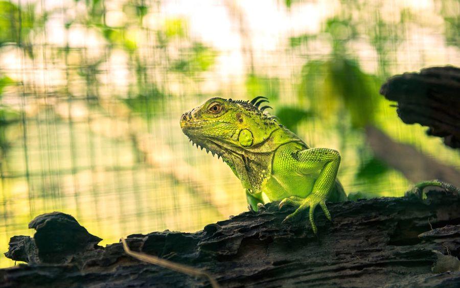 Lizard Nature Hainan