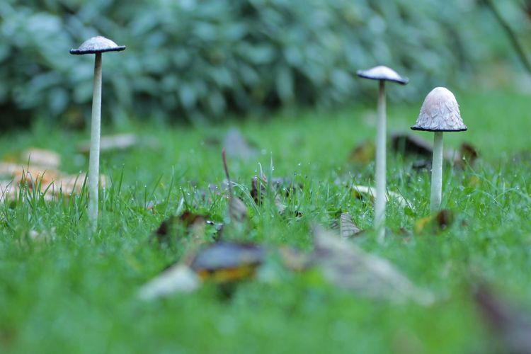 Mushrooms in the garden Plant Land Growth Selective Focus Mushroom Green Color Field Grass Fungus Nature Day Beauty In Nature Toadstool No People Vegetable Food Close-up Outdoors Tree Moss Surface Level
