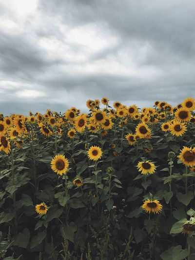 Close-Up Of Sunflowers Blooming On Field Against Cloudy Sky