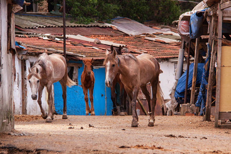 Horses walking on road amidst houses in village