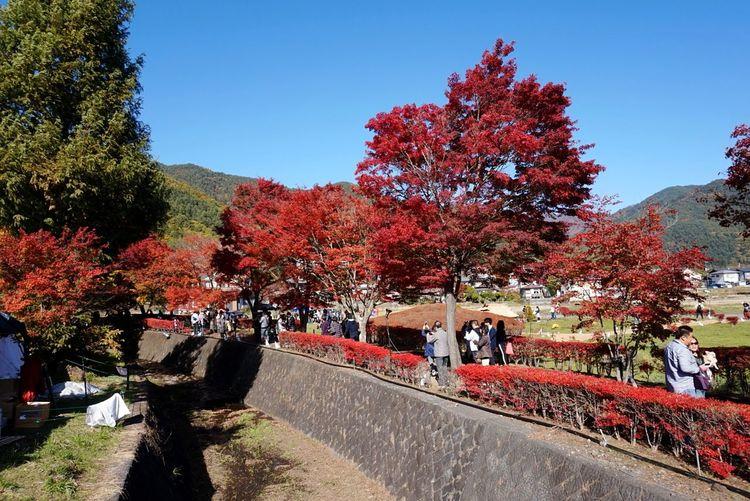 河口湖 紅葉祭り Yamanashi Japan Autumn Nature Outdoors Beauty In Nature Day Sky Tree Leaves Leaves 🍁 紅葉 紅葉2016 紅葉まつり 河口湖 山梨県 日本 風景 Growth 写真 自然 Nature Power In Nature Scenics 週末 EyeEmNewHere Yamanashi The Great Outdoors - 2017 EyeEm Awards