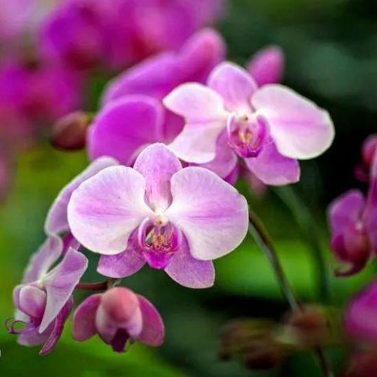 Anggrek Anggrek Close-up Flower Flower Head Growth Nature Petal Softness