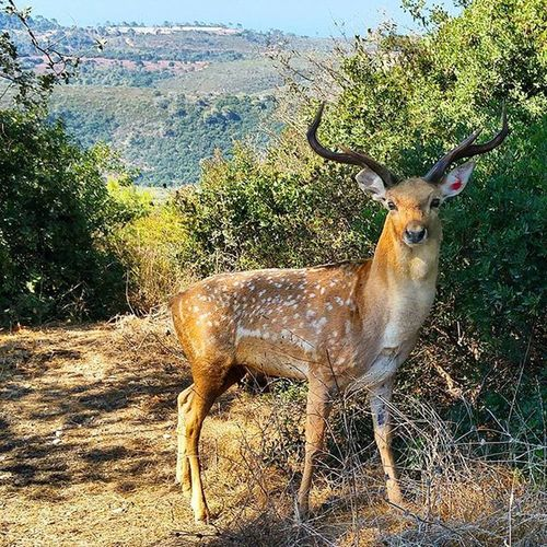 Things that you can find in - Haifa ? Deer Nature Natural Wild Mountain Green Israel Ig_nature Ig_israel Ig_europe Ig_eurasia Ig_today Insta_Israel Israelinstagram Ig_daily Ig_exquisite