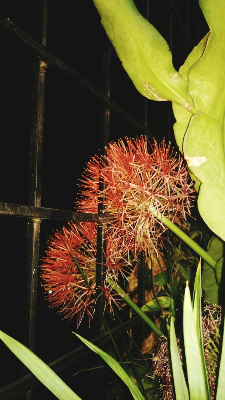 plant, growth, close-up, no people, nature, freshness, leaf, beauty in nature, green color, night, red, outdoors, food, flower, flower head