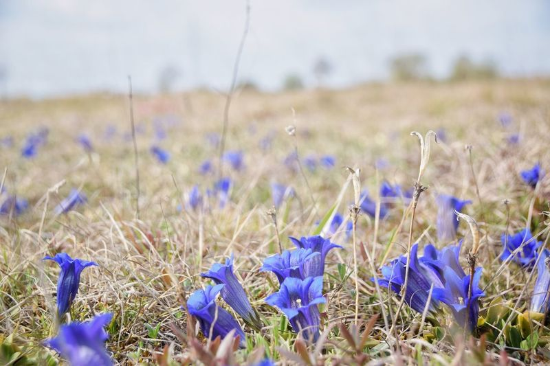 Growth Field Nature Beauty In Nature No People Plant Day Tranquility Flower Outdoors Blue Rural Scene Landscape Fragility Grass Scenics Freshness Close-up Sky Gentian Stemless Gentian Enzian Gentiana Clusii