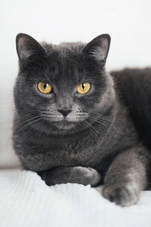 Grey Cat Domestic Cat Pets Domestic Animals Mammal One Animal Looking At Camera Feline Animal Themes Portrait Indoors  Whisker Home Interior No People Close-up White Background Yellow Eyes Day Sitting