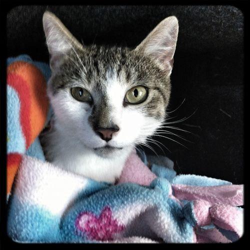 Cat Belle Adoptee