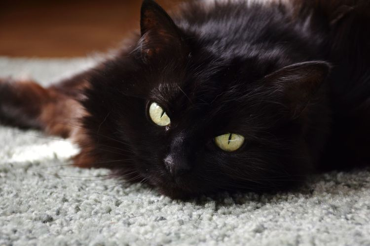 Pets Portrait Feline Yellow Eyes Lying Down Looking At Camera Black Color Animal Hair Cat EyeEmNewHere