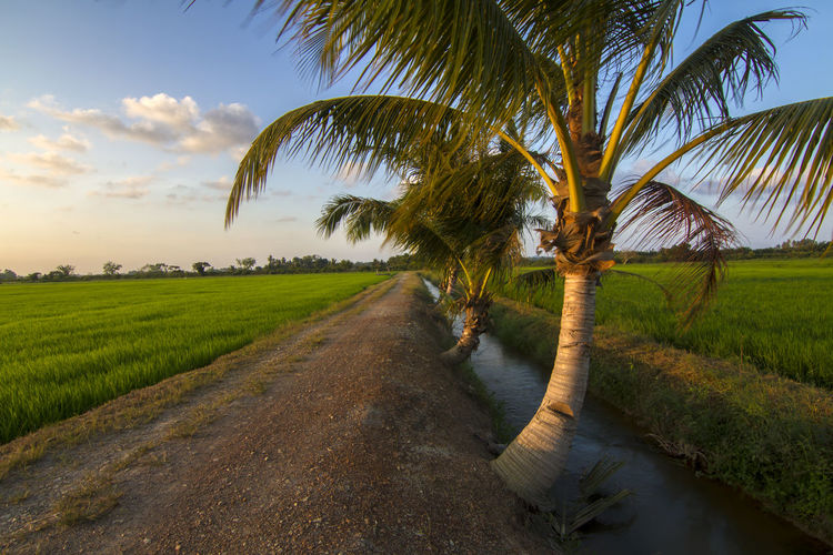 Palm trees Agriculture Beauty In Nature Cloud Dirt Road Field Grass Green Color Growth Landscape Nature Palm Tree Road Rural Scene Scenics Sky Sunlight The Way Forward Tranquil Scene Tranquility Tree