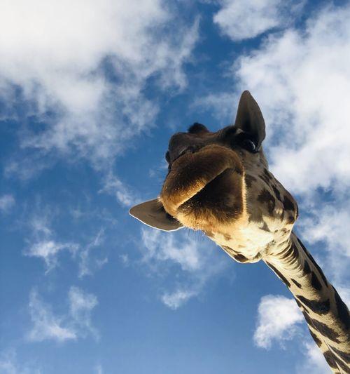 Mombasa, kenya. giraffes kiss