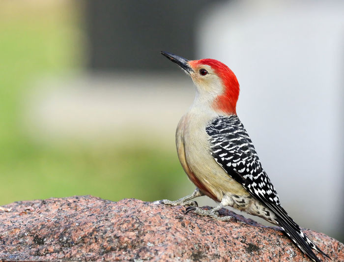 Red-Bellied Woodpecker EyeEm Best Shots EyeEm Nature Lover EyeEm Gallery Red-bellied Woodpecker Animal Animal Themes Animal Wildlife Animals In The Wild Beauty In Nature Bird Close-up Day Eye4photography  Focus On Foreground Looking Looking Away Mouth Open Nature No People One Animal Outdoors Perching Rock - Object Solid Woodpecker