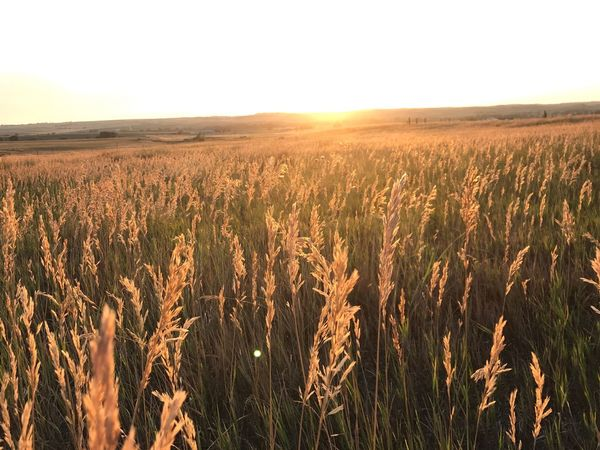EyeEm Selects Field Cereal Plant Agriculture Growth Crop  Farm Nature Rural Scene Landscape Wheat Tranquility Ear Of Wheat No People Plant Outdoors Sky Tranquil Scene Beauty In Nature Scenics Day