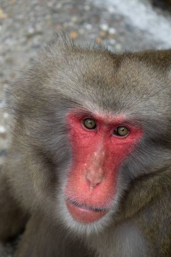 Red Face Ape Red Face Monkey One Animal Red Animal Wildlife Looking At Camera Portrait Mammal Vertebrate Close-up Primate Animal Body Part Animal Eye