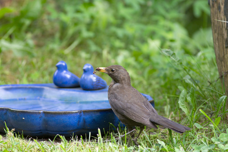 A female common blackbird collects material for nest-building and sits in front of a blue water bowl with bird figures. Animal Animal Themes Animal Wildlife Animals In The Wild Bird Bird Figures In Background Bird Watching Blue And Green Built Structure Common Blackbird Day Female Common Blackbird Focus On Foreground Grass Green Color Nature Nesting Activities No People Plant Summer Heat Taking A Bath Turdus Merula Water Water Bowl Yellow Beak