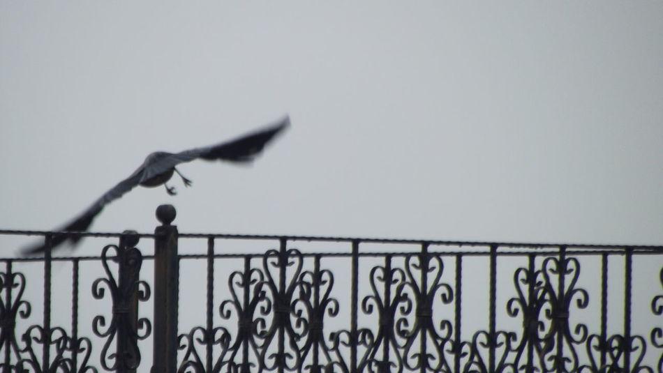 Karga Crow Gaziantep Gaziantep Üniversitesi Uçan Kuşlar Uçan Karga Flying Crow Flying High Flying Bird Sis Fog Original Moveables