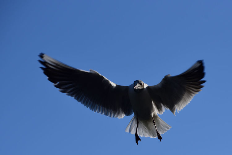 Spread Wings Flying Bird Animal Animal Wildlife Animals In The Wild Animal Themes Sky Vertebrate One Animal Clear Sky Low Angle View Blue Motion Copy Space No People Mid-air Freedom Nature Day Outdoors Eagle
