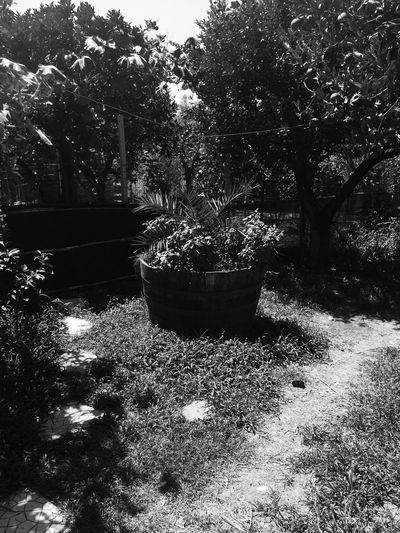 Growth Tree Nature Sunlight No People Plant Flower Day Outdoors Black & White Sicilia Nature Messina Capo D'Orlando Palm Tree