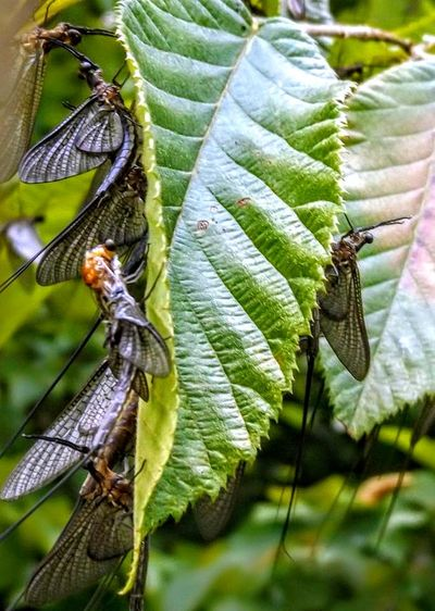 Mayfly Leaf Insect Close-up Animal Themes Plant Green Color