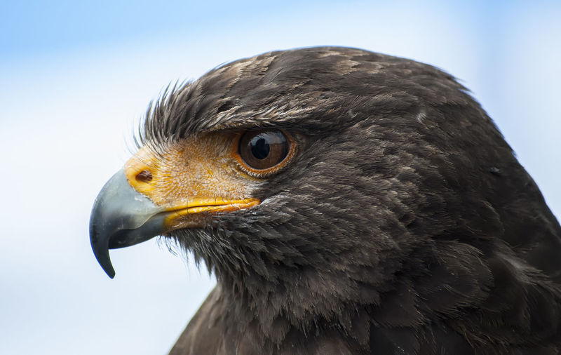 Close-Up Of Hawk