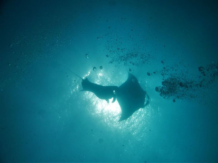 Diving Manta Animal Themes Animals In The Wild Beauty In Nature Blue Day Manta Ray Nature One Animal One Person Outdoors Real People Sea Sea Life Swimming UnderSea Underwater Water