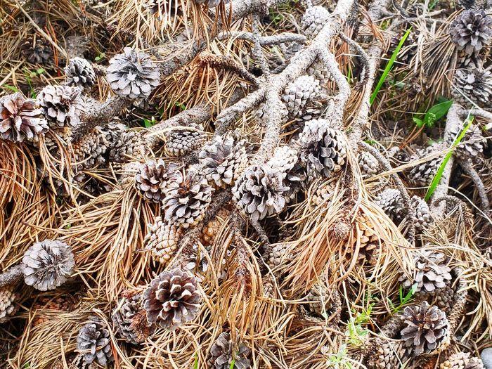 Pine Cone Pine