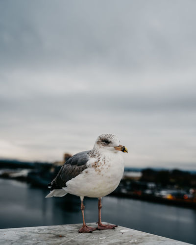 Close-up of seagull perching on a sea