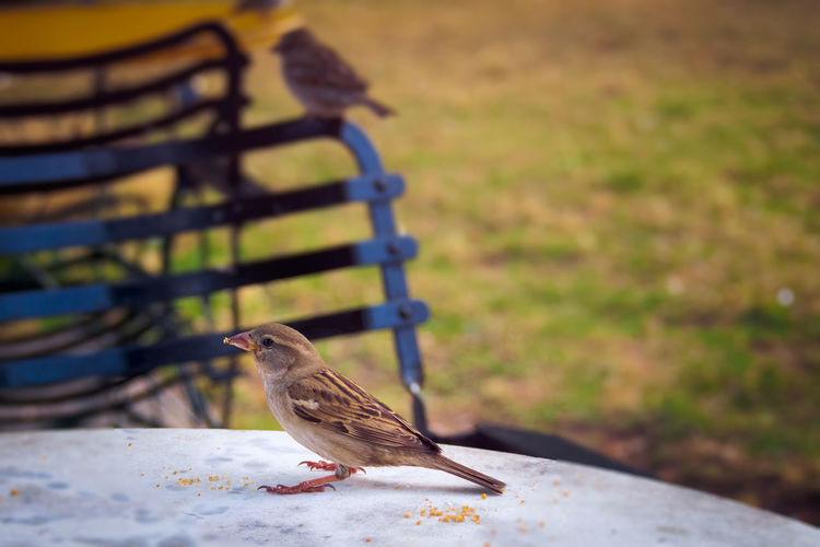 A sparrow is