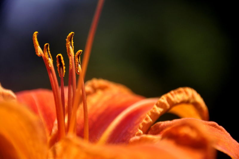 Macro shot of orange day lily