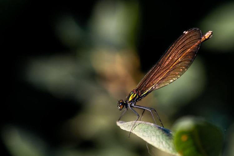 Leaf Fragility Nature Beauty In Nature Macro Summer Bokeh Animal Animals In The Wild Banded Demoiselle Calopteryx Splendens Demoiselle Pond Life EyeEm Selects Insect Animal Themes Close-up Damselfly Dragonfly Winged Animal Wing Arthropod Leaf Vein Leaves