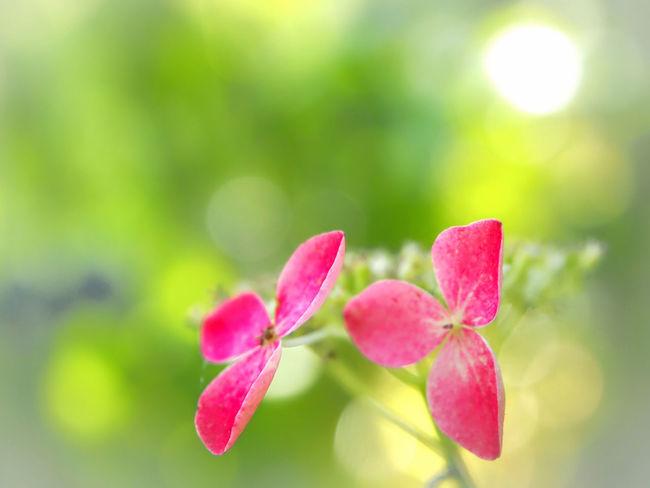 一緒がいいね… 山紫陽花 あじさい 日だまり Flower Collection EyeEm Nature Lover EyeEm Best Shots EyeEm Gallery Eyemphotography Beauty In Nature My Point Of View EyeEm Best Shots - Nature
