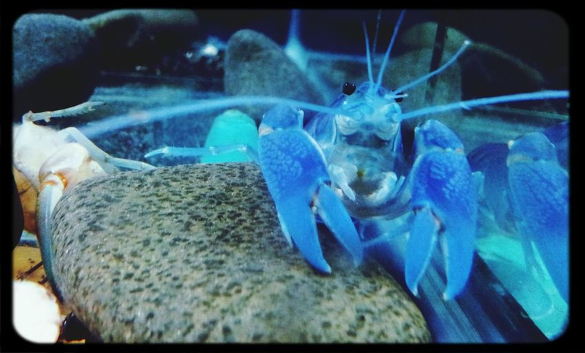 Blue pearl Cherax Albidus Crayfish