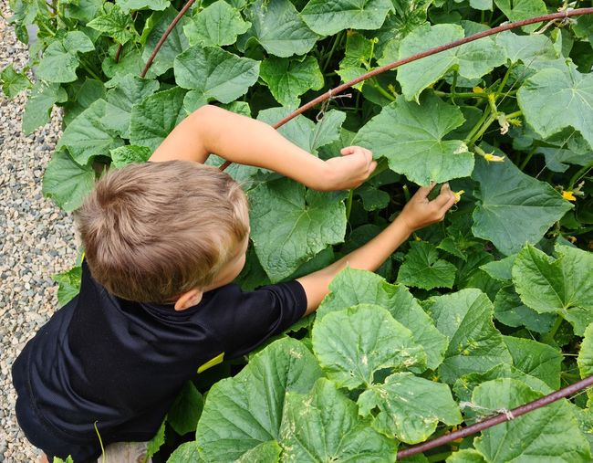 Boy picks a cucumber in the garden