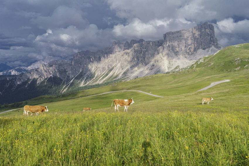Animals Cow Day Farm Animal Field Grazing Landscape Livestock Mammal Mountain Mountain Range No People Outdoors Sky Alps Italy Passo Giau Dolomites Clouds San Vito Di Cadore Mountain Peak Travel Destinations Valley Colle Santa Lucia Grass