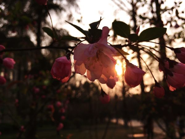落日映海棠 春意暖心房(*^_^*) Beautifu Spring Flowers Malus Spectabilis
