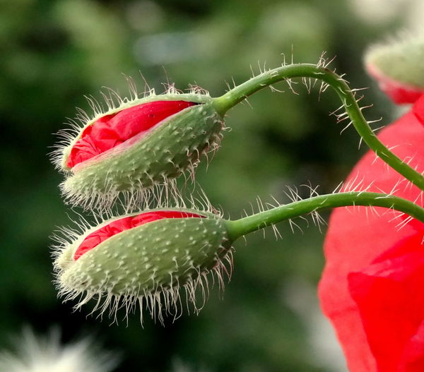 Beauty In Nature Close-up Colour Of Life Flower Green Color Natural Pattern Nature Plant Poppy Poppy Buds Red