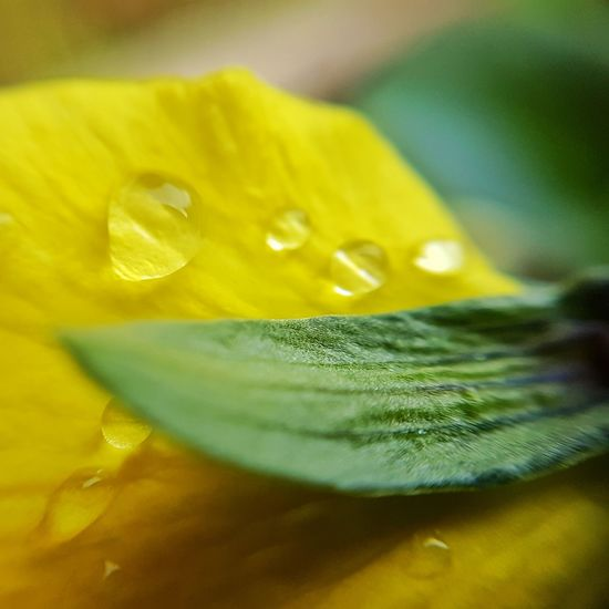 Beauty In Nature Yellow Close-up Nature Water No People Fragility Day Nature_collection Growth Flower Flower Collection Tranquility Drops Of Water Macro Macro Photography Droplets Droplets, Water Droplets, Flowers  Close Up Macro_perfection S7edgephotography S7 Edge Photography