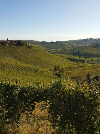 Agriculture Field Farm Crop  Rural Scene Growth Nature Outdoors Landscape Day Beauty In Nature Sky Freshness Scenics No People Growth Vineyard Cultivation Hill Winemaking Vineyard Travel Destination Piedmont Italy Langhe Barbaresco Vineyards