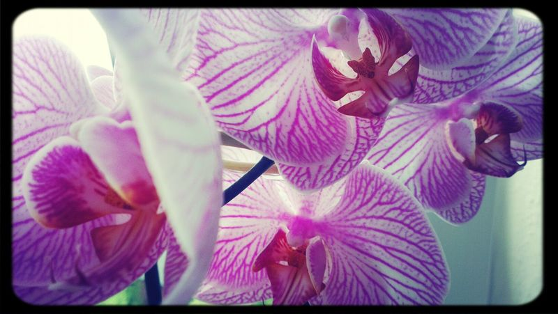 Orchidee Selfmaide