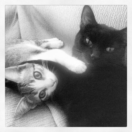 black and grey Cats Cat♡ Cat Lovers Kitty Frankpancorbo