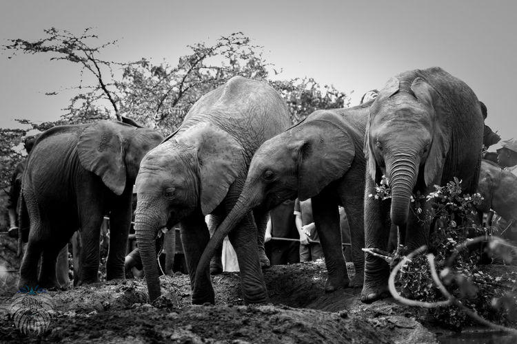 Animal Themes Animal Trunk Day Domestic Animals Elephant Mammal Nature No People Outdoors Plant Sky Standing Tree