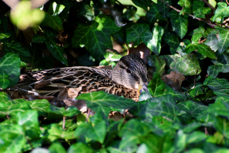 Duck incubating