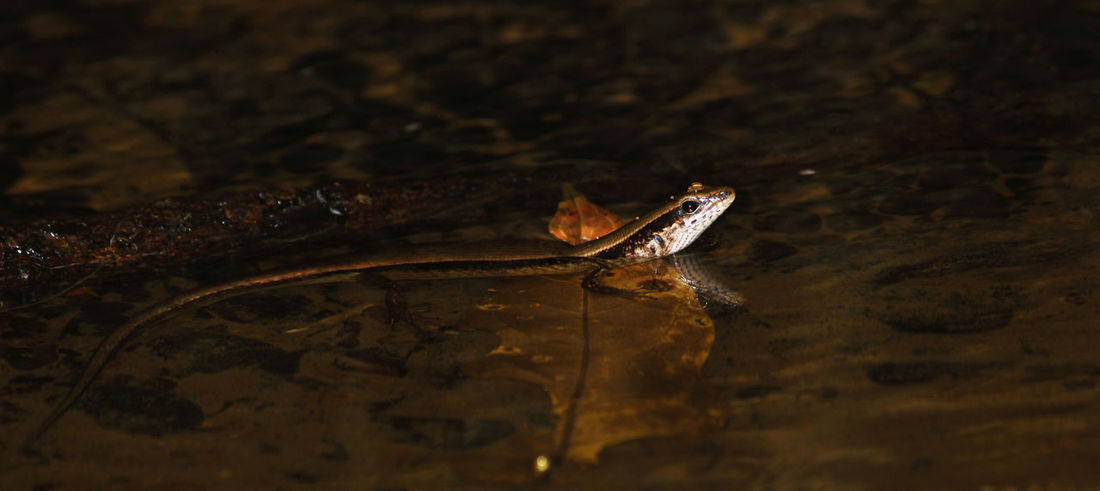 The amazing world of Herps! Animal Animals In The Wild Exceptional Photographs Flash Flash Photography Herp Herpetology Lizard Reptile Skink Skink In Stream Skink In Water Sphenomorphus Sp. Wildlife Photography