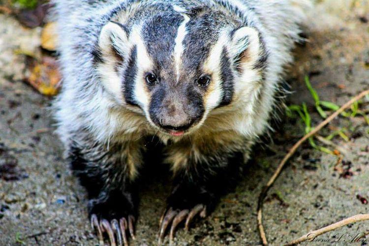 Washington Wildlife Northwest Trek Badger
