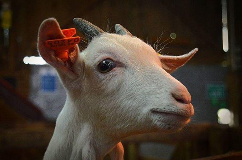 @pennywellfarm Goat Pennywellfarm Pennywell Farm Familyday Familydayout Goat Goatworthy