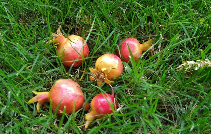 Melegrane Bambine Mele  Grane Pomegranate Pomwgranates Pallá  Pallina Ball LittleBall BigLie Autunno  Aurumn Giocare Rosso Grani Frutti Fruits