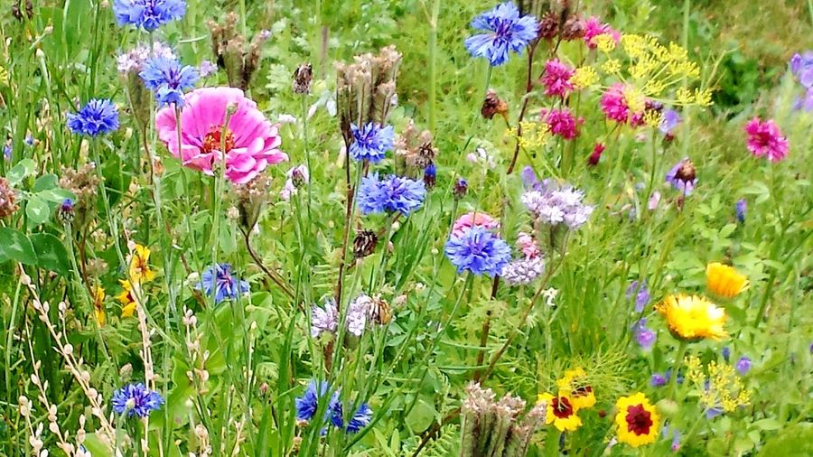 Flower Nature Growth Purple Beauty In Nature Fragility Green Color Botany Plant Wildflower Flower Head No People Uncultivated Field Freshness Poppy Outdoors Grass Petal Garden Photography Beauty In Nature The Week Of Eyeem Last Flower Of Summer Simple Photography Lovely Flowers