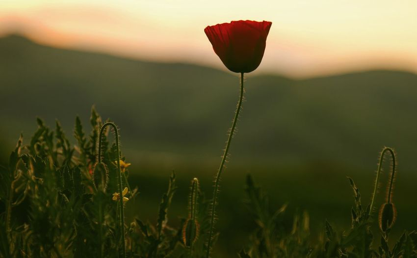 Light And Shadow Low Angle View Taking Photos Feeling Creative OpenEdit EyeEm Best Shots Freshness EyeEm Nature Lover Nature Flower Collection Flower Sunset Red Poppy Close-up Plant Green Color In Bloom Blooming