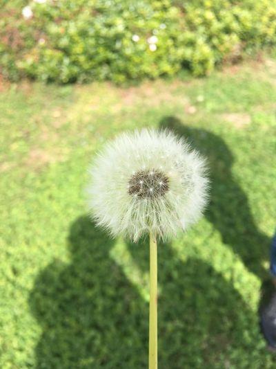 Dandelion White Color Flower