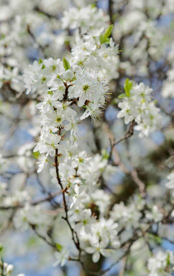 Almond Tree Apple Blossom Apple Tree Beauty In Nature Blossom Branch Cherry Tree Close-up Day Flower Flower Head Fragility Freshness Fruit Tree Growth Nature No People Orchard Outdoors Plant Springtime Tree Twig White Color