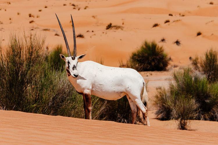 Gemsbok standing on desert